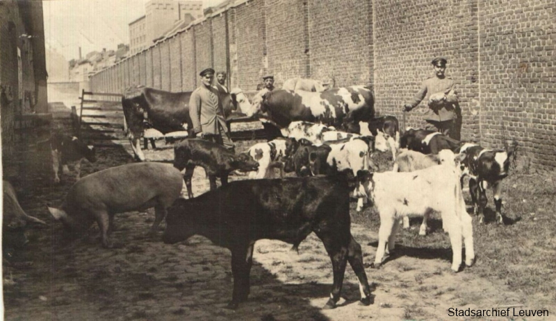 De Duitse bezetter confisqueerde vaak levend vee voor bevoorrading van de eigen troepen (foto Stadsarchief Leuven, collectie Uyyterhoeven, map 88)